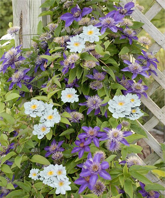 seedling sprout live multi blue duchess of edinburgh. Black Bedroom Furniture Sets. Home Design Ideas