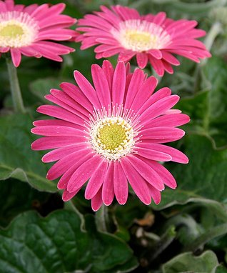 Carmine Gerber Daisy - Set of Two