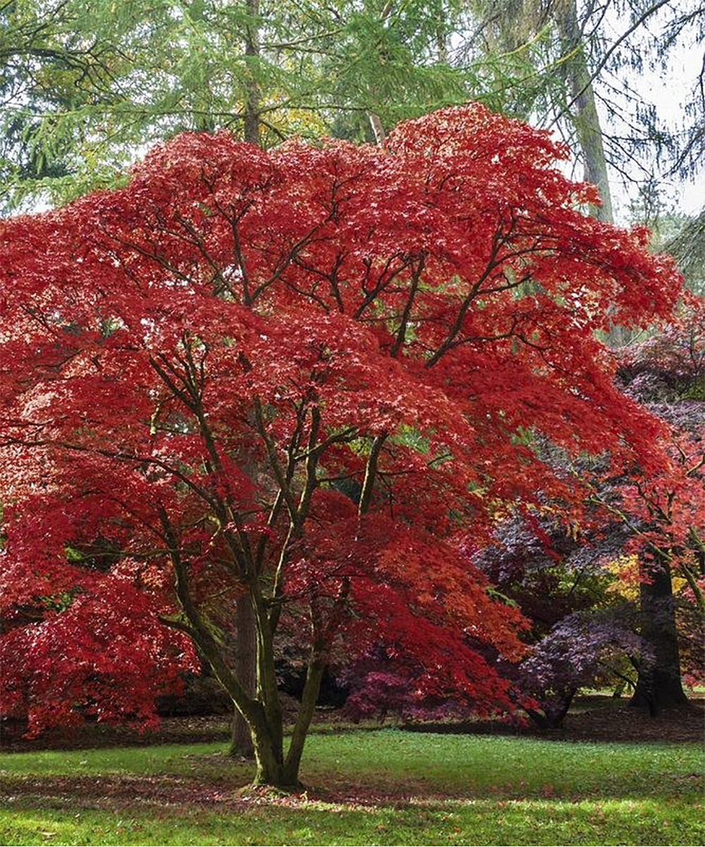 Seedling Sprout Emperor One Japanese Maple Tree Zulily